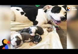 Pit Bull Mom Rescues Orphaned Pit Bull Puppies Found In A Box