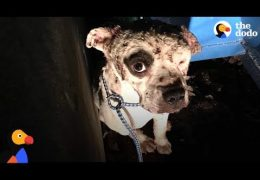 Sad Pit Bull Covered In Fight Wounds Smiles For The First Time