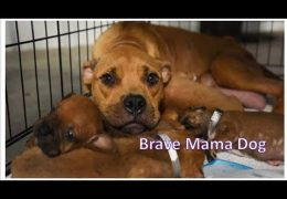 Pit Bull Mother Takes Her Four Puppies Up On Someone's Porch To Protect Them From Soaring Floodwaters