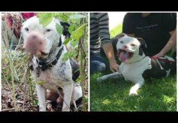 Pit Bull Who Lost His Nose Is So Happy After Being Adopted By His Rescuer