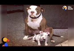 This Rescue Pit Bull Is The Perfect Foster Dad To Puppies