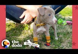 Pit Bull Puppy Found In Duffel Bag Is Pure Joy