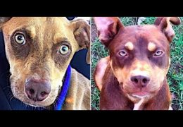 A Rescued Pit Bull: The Difference Love Can Make