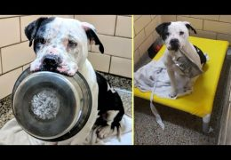 Scared Pit Bull Won't Put Food Bowl Down Until Something Happens