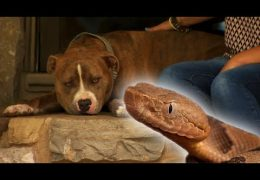 Loyal Pit Bull Saves Mom From Venomous Copperhead