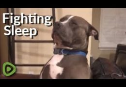 Extremely Tired Pit Bull Struggles So Hard To Fight Off Sleep