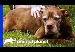 Senior Pit Bull Finds A Home To Live Out The Rest Of His Life In Comfort